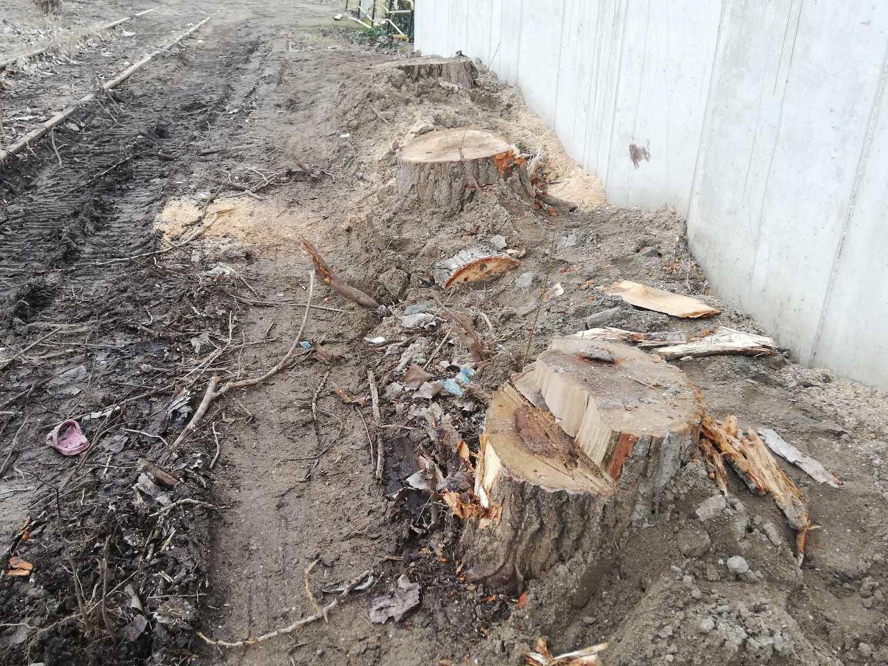 Отрязани дървета край ''Кроношпан''. Снимка: ОЗБГ
